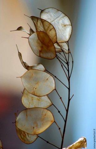 Lunaria, occhiali del papa